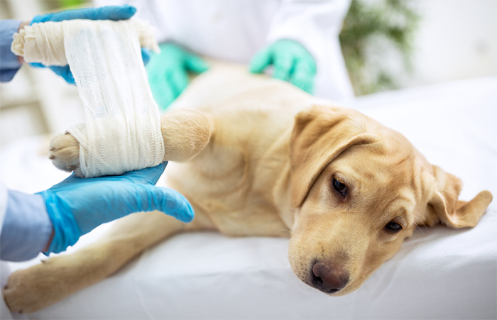 vet assistant bandaging dog after surgery